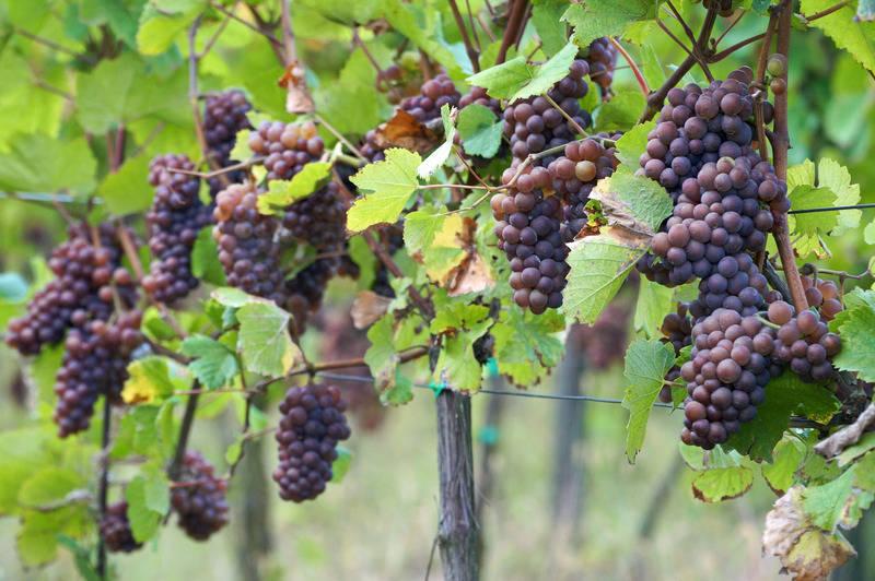 Wino Zielona